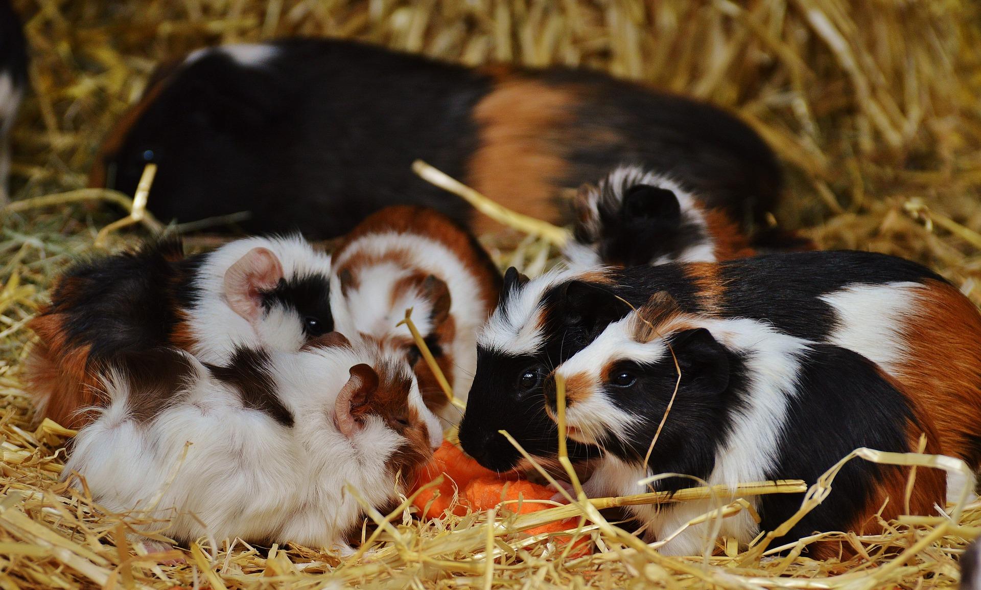 guinea-pig-1312876_1920