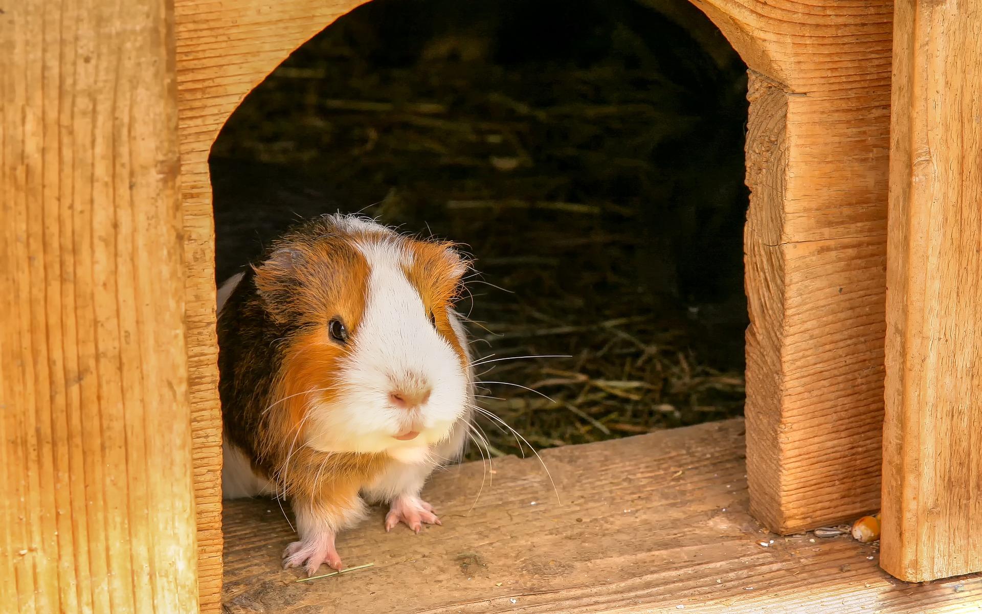 guinea-pig-3442756_1920