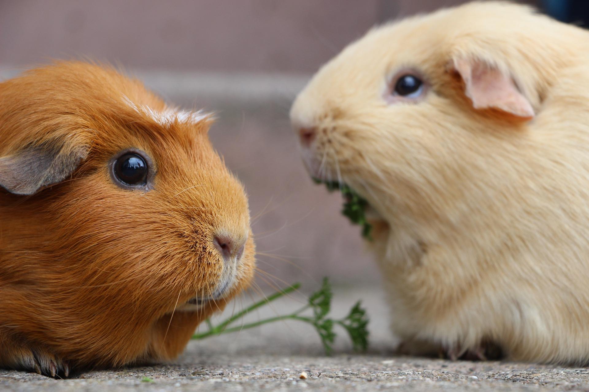 guinea-pig-5287749_1920