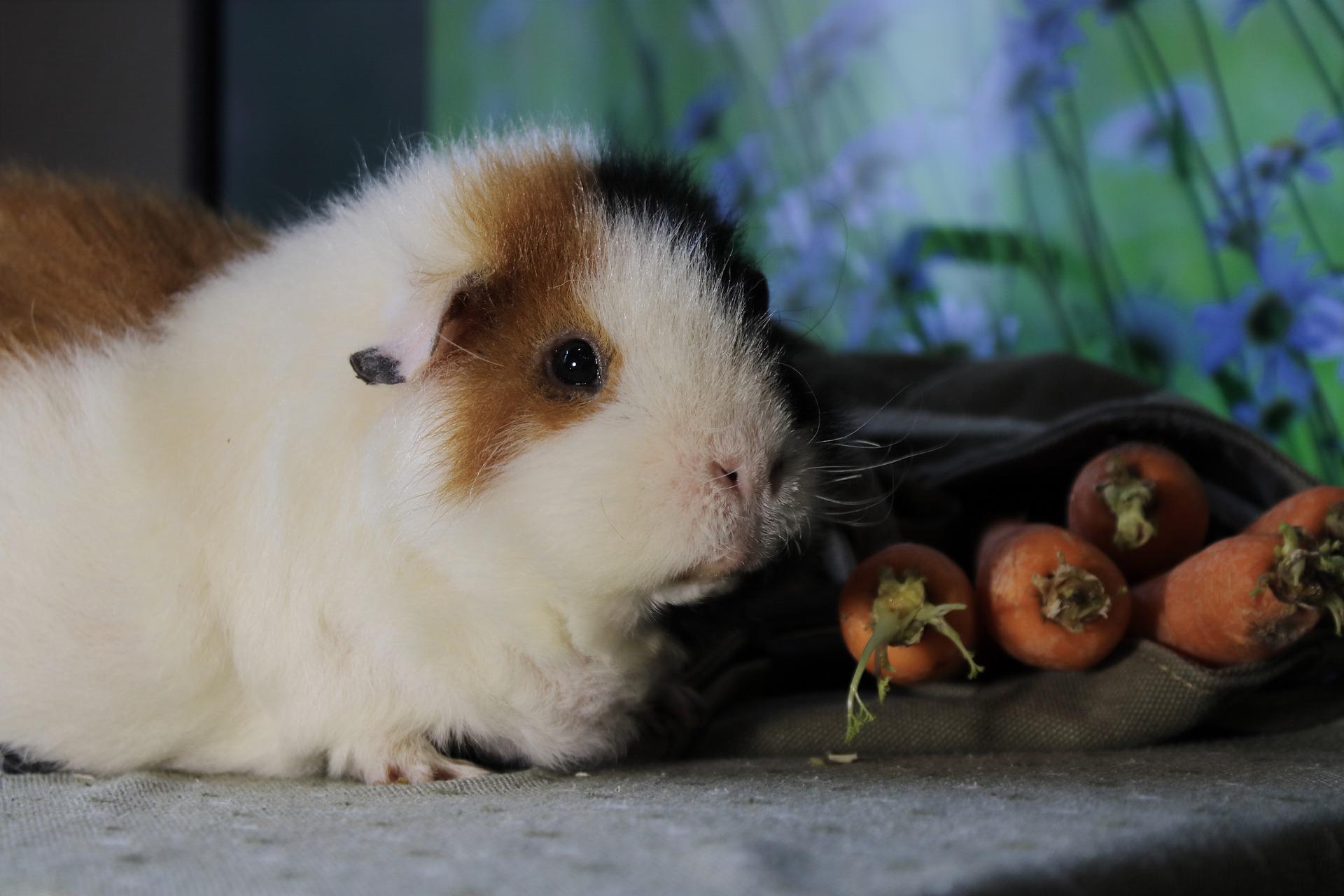 guinea-pig-5462231_1920